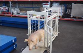 Взвешивание свиней и поросят