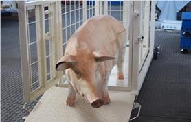Взвешивание поросенка на весах для животных Эльтон-СК